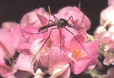 Главным источником для питания самцов и самок комара служит нектар.