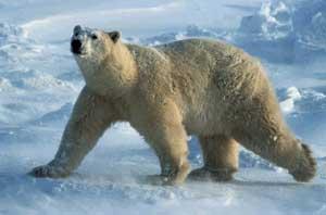 ...вызывают опасливое уважение своими огромными размерами, а самые большие медведи в мире - белые и кадьяки...