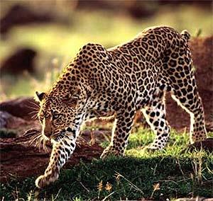 Отряд: Хищные (Carnivora).  Латинское обозначение вида: Panthera pardus.